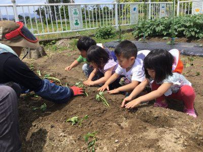 芋の苗植え 2
