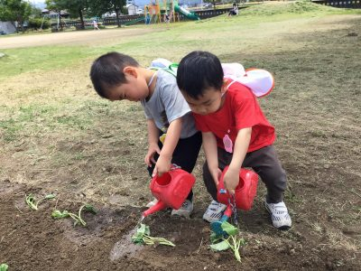 芋の苗植え 3