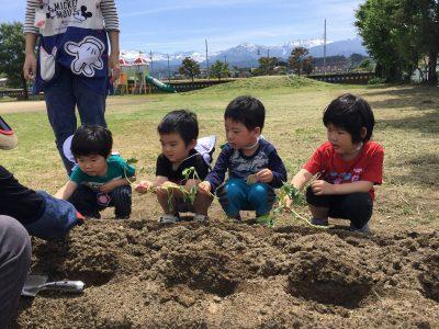 芋の苗植え 1
